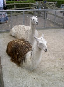 There were also llama's in the Farm-part....I spose there are llama farms too lol.