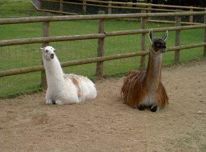 Llamas sitting contently.