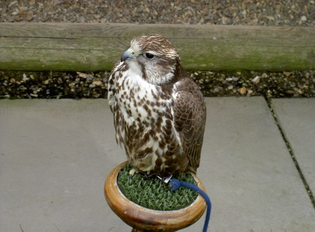 Pretty birdy!!! Peregrine Falcon. One of my fave kinds of bird. (From Animals of Farthing Wood lol)